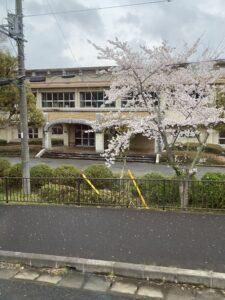 多古第一小学校前の満開の桜